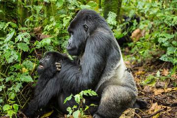A large silverback gorilla mating