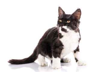 Fluffy cat with a black back and white belly. Isolated on a white background