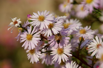busy bees on pink flowers in autumn