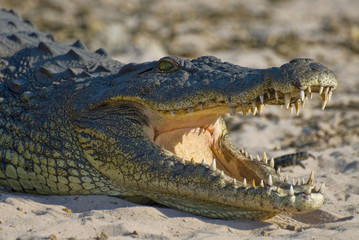 Nile crocodile with open mouth showing teeth in Chobe National Park, Botswana.