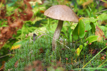 Mushroom Boletus in the grass hides. The season of collecting boletus in the forest for food.