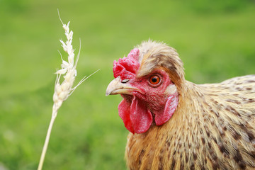 red-haired chicken eats wheat grains from a spikelet in the yard of a summer farm