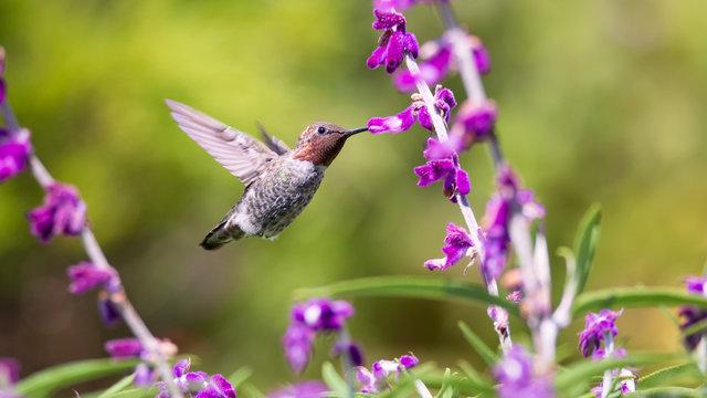 Anna's Hummingbird in Flight with Purple Flowers