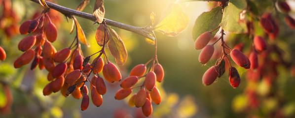 Autumn background with yellow-red leaves and fruits. Autumn floral background.