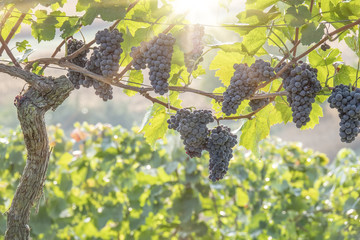a vineyard red grapes in sunset light