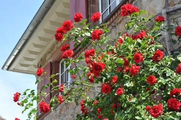 Roter Rosenstrauch vor einem älteren Sandstein-Wohnhaus