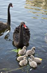 Black swan with nestlings on lake