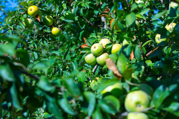 Ripe fruits of green apples on the branches of young apple trees. A sunny autumn day in farmers orchards.