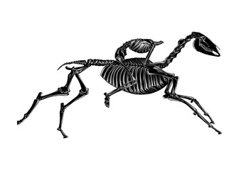 Vector engraved style illustration for posters, decoration and print. Hand drawn sketch of skeleton of headless horseman in black isolated on white background. Detailed vintage etching style drawing.