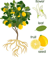 Parts of plant. Morphology of lemon tree with fruits, flowers, green leaves and root system isolated on white background