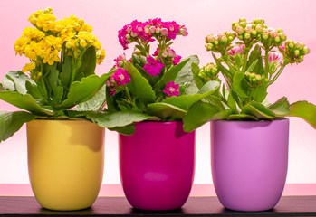 Three colors pots with thee colors medical houseplants kalanchoe with flowers close up on trendy pink background, bright colors concept