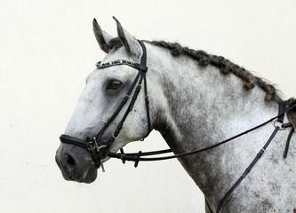 Pure Spanish Horse or PRE, portrait against light background