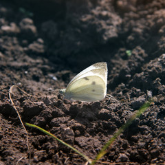 Butterfly sits on the ground