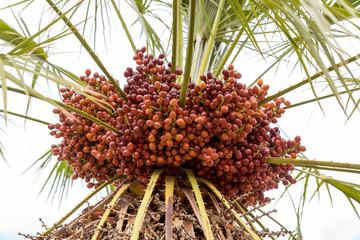 Palma nana Sicilia Italia