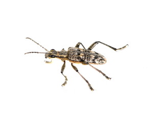 The longhorn beetle Rhagium mordax isolated on white background