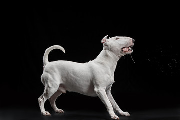 Bull Terrier type Dog on black studio background