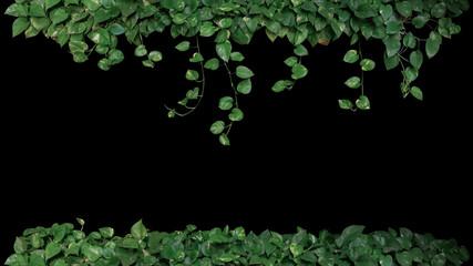Green variegated leaves of devil's ivy or golden pothos (Epipremnum aureum), tropical foliage plant bush with hanging vine branches on black background.