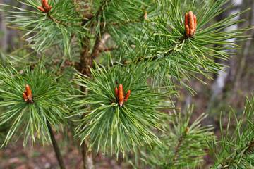 Branches of spring coniferous tree