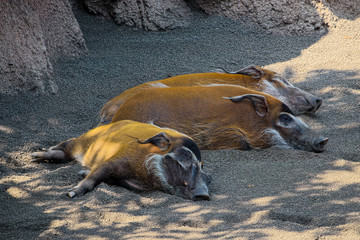 Three red river hogs (species: Potamochoerus porcus pictus) are sleeping in shadow of rocks.