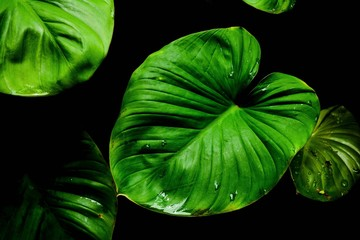 Fototapete - green leaf caladium texture in tropical forest background.