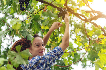 Girl winemaker harvesting clusters of Merlot red grapes in the vineyard for wine production