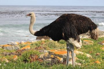 Profilo di struzzo sullo sfondo il mare del Sudafrica