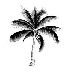 Vector engraved style illustration for posters, decoration and print. Hand drawn sketch of palm tree in black isolated on white background. Detailed vintage etching style drawing.