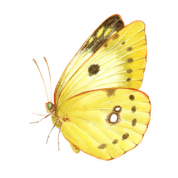 Watercolor clouded yellow butterfly. Hand drawn illustration isolated on white background