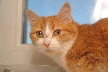 red-haired and white short-haired cat on the