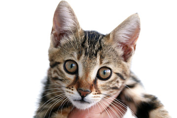 black-brown cat on white back ground, pictures of big-eyed cats,