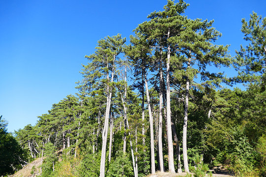 blue skies and long green pine trees,