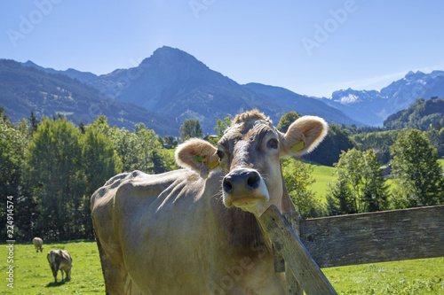 Kuh Allgau Lustig Rubihorn Alpen Zaun Stock Photo And