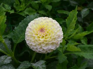 Dahlia pompon jaune et blanc