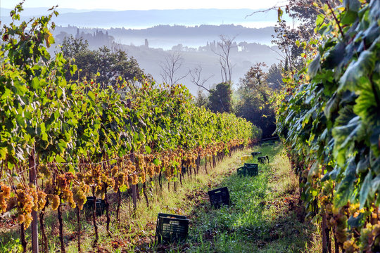 Morning with mist over harvesting grape at beautiful grapeyard of Tuscany, with green valleys and hills around. Wine culture of Italy