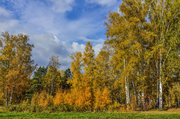 Beautiful romantic landscape with golden leaves of birch trees in autumn forest season - bright fall background at warm sunny september day with blue sky and white clouds
