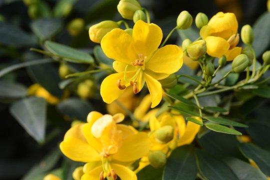 Cassia corymbos (Flowering senna)