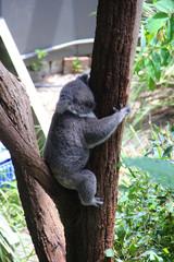 Koala sleeping in a tree