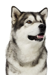 Alaskan Malamute dog looking at a white background
