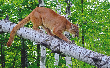 Mountain Lion perched in a tree limb.