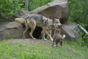 Coyote adult and wolf pups playing together.