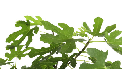Young fig tree with lush leaves on white background, closeup