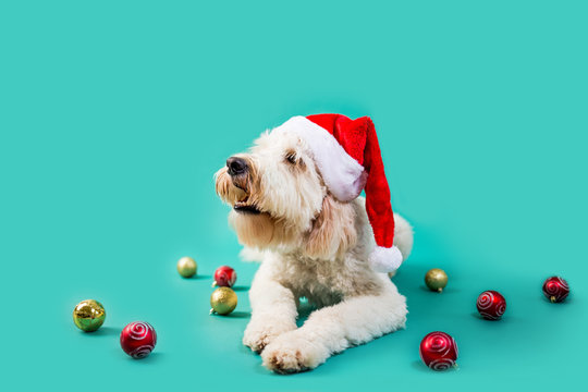 Christmas Dog on Isolated Colored Background