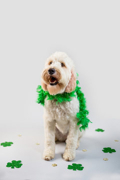 Dog dressed in St. Patrick Day Costume