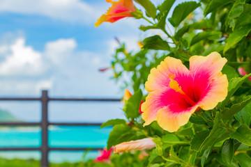 沖縄石垣島のハイビスカス 南国イメージ