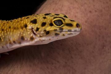 Geopard-gekko yellow