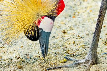 Grey Crowned Crane Eating