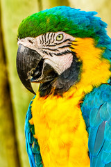 Blue Yellow Gold Macaw Parrot Feathers