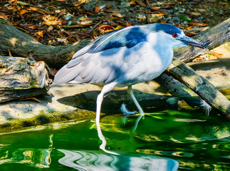 Red Eye Black-crowned Night Heron