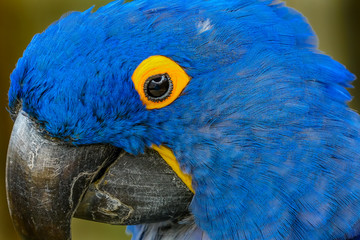 Blue Yellow Hyacinth Macaw Parrot Feathers