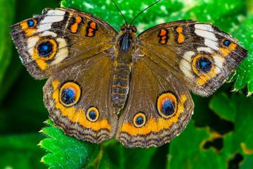 Common Buckeye Butterfly Seattle Washington